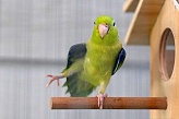 Pacific Parrotlet Green M