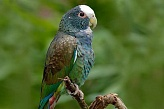 White Crowned Parrot M