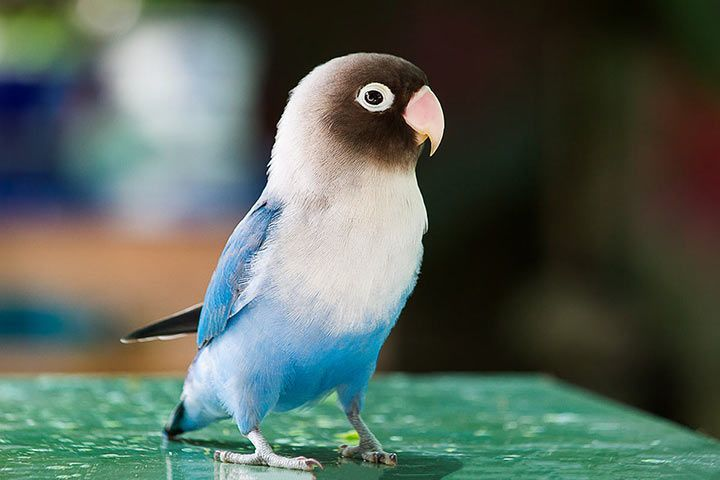 Blue Yellow-Collared Lovebird