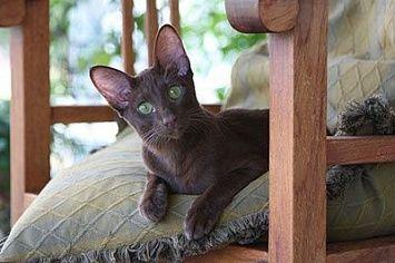 Abyssinian Cat Chair M