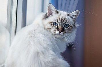 Birman Cat White M