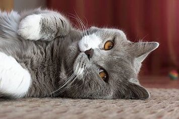 British Shorthair Cat M