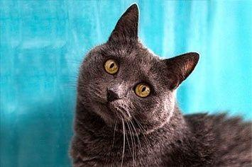 Chartreux Cat M