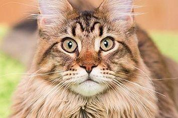 Maine Coon Cat M