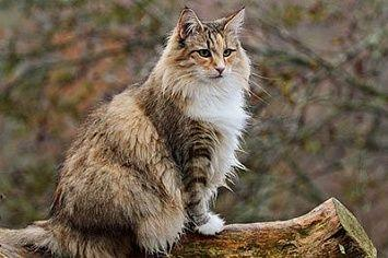 Norwegian Forest Cat Fur M