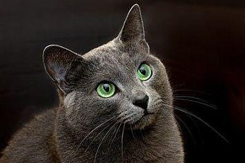 Russian Blue Cat M