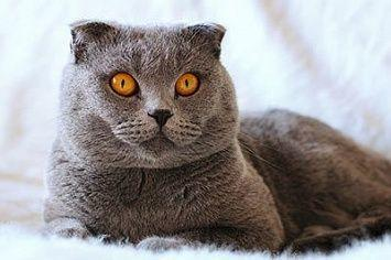 Scottish Fold M