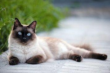 Siamese Cat M
