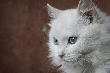 Turkish Angora Cat M