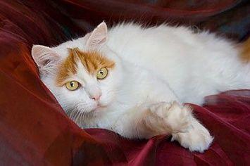 Turkish Van Cat M
