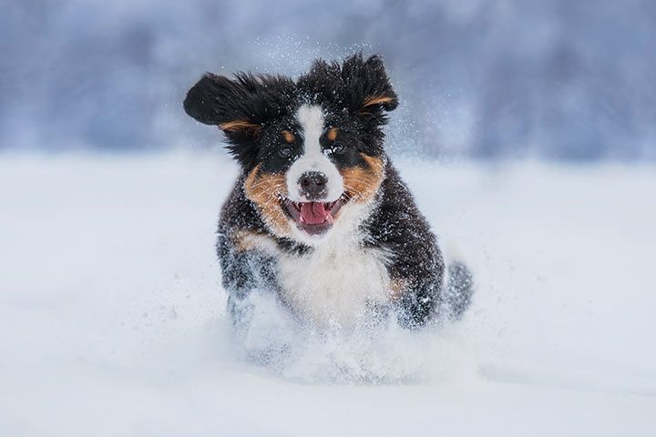 Bernese Mountain Dog running through the snow