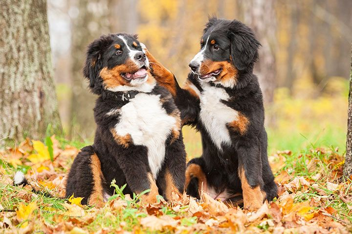 Bernese Mountain Dogs playing