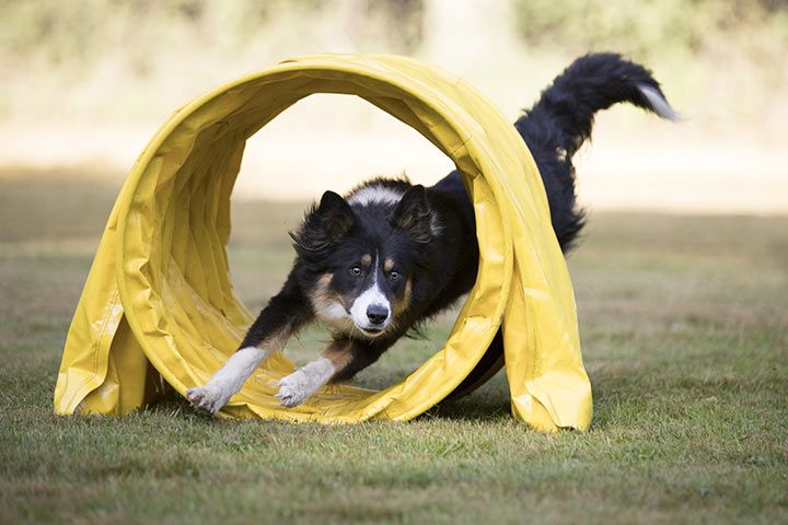 Border Collie does agility