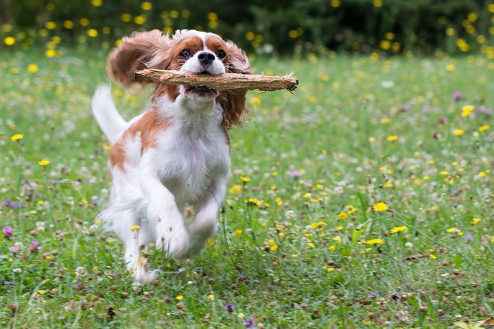 Cavalier King Charles Spaniel with stick