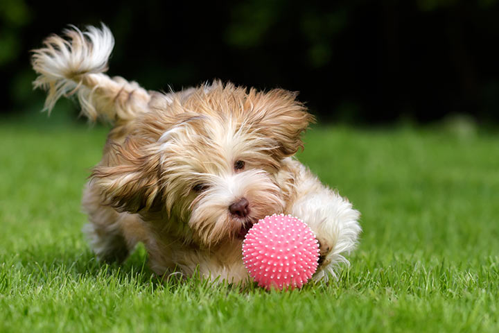 Havanese playing with a toy