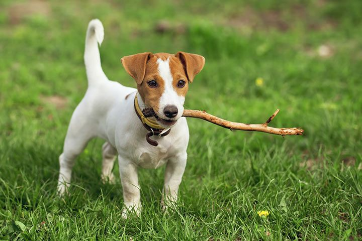 Jack Russell Terrier playing fetch