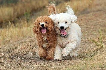 Poodle Running M