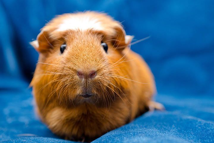 American Crested Guinea Pig
