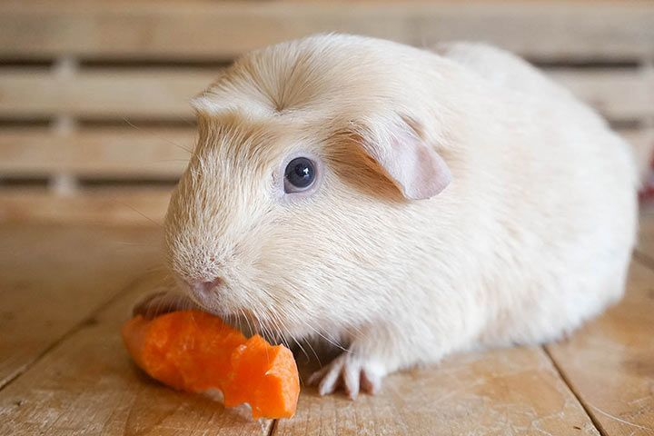 English Crested Guinea Pig