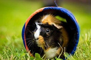 Abyssinian Guinea Pig M