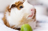 Irish Crested Guinea Pig M