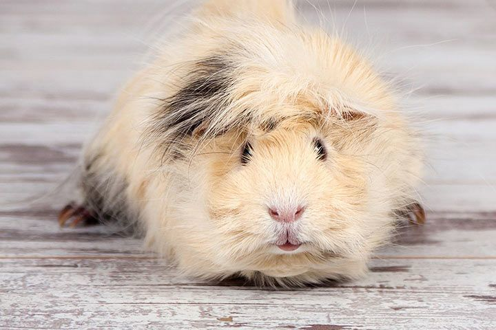 Short-Haired Peruvian Guinea Pig