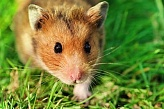Syrian Hamster M