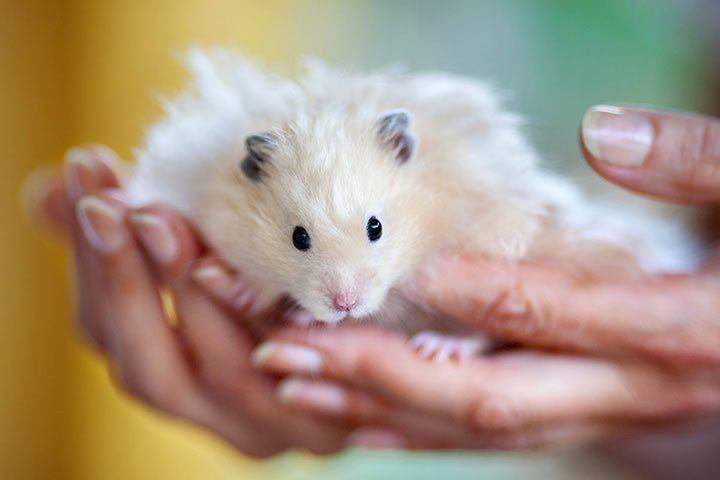 Hamster on a Hand