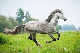 Andalusian Galloping M
