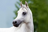 Arabian Horse Head M