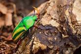 Flower Chafer Dicronorrhina Derbyana Green M