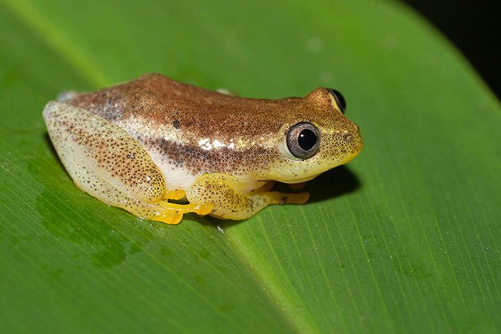 African Reed Frog