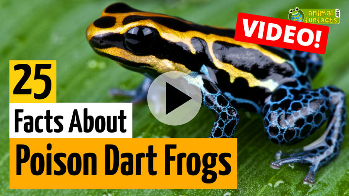 Poison Dart Frog Video