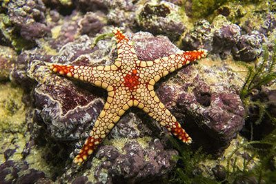 Necklace Starfish