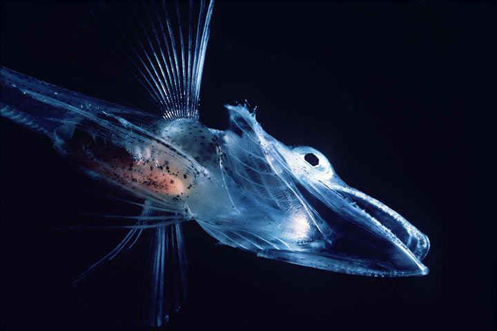 Crocodile Icefish