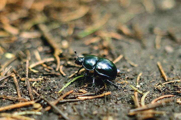 Spring Dor Beetle Facts