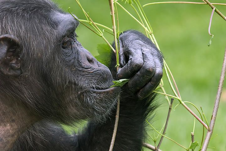 Chimpanzee eats healthy leaves
