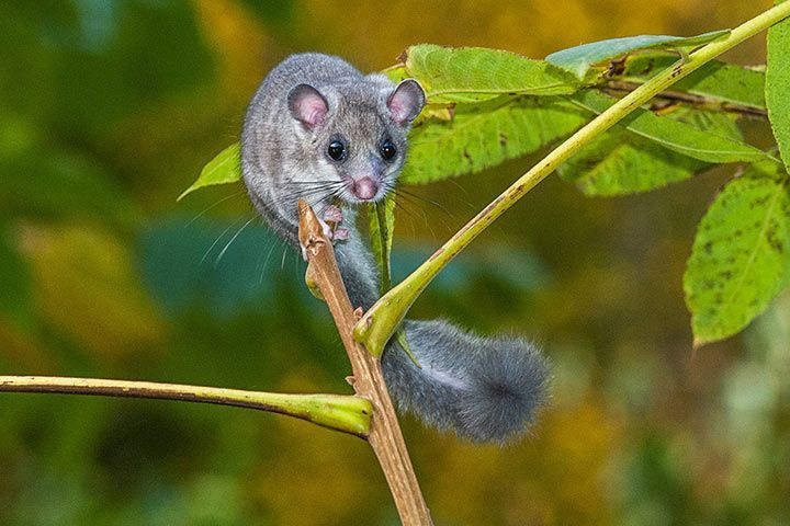 Edible Dormouse
