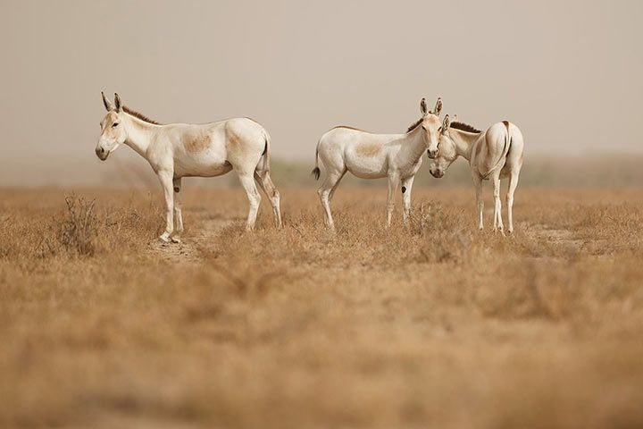 Onager / Asiatic Wild Ass