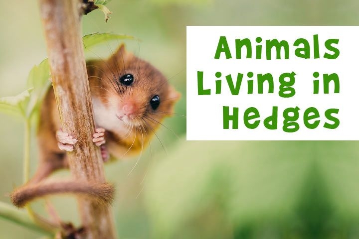 Animals Living in Hedges