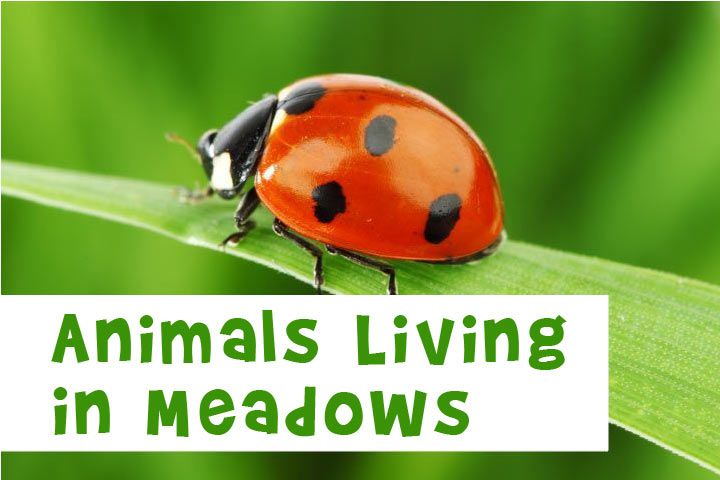 Animals living in meadows