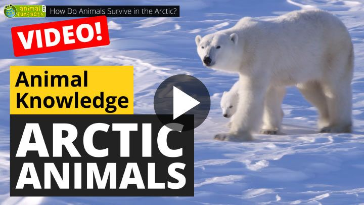 Video: How Do Animals Survive in the Arctic?