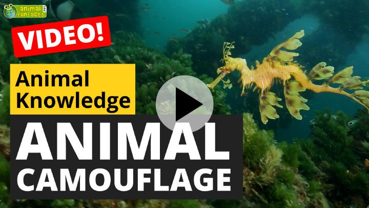 Video: Animal Camouflage