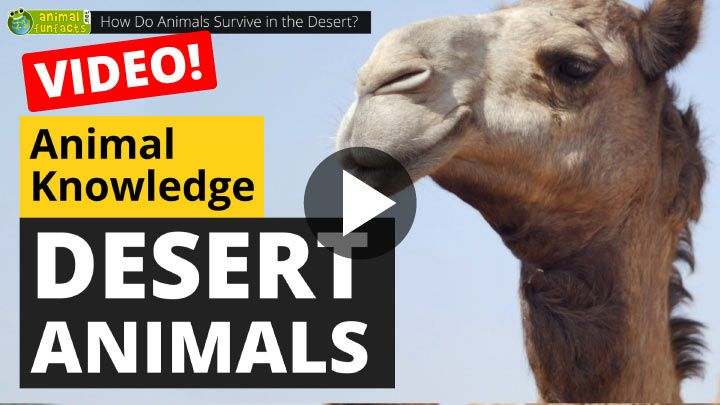 Video: How Do Animals Survive in the Desert?