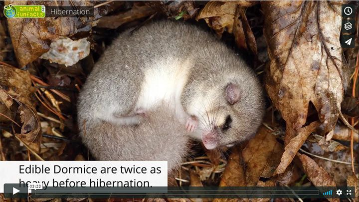 Video: All About Hibernation - Edible Dormouse