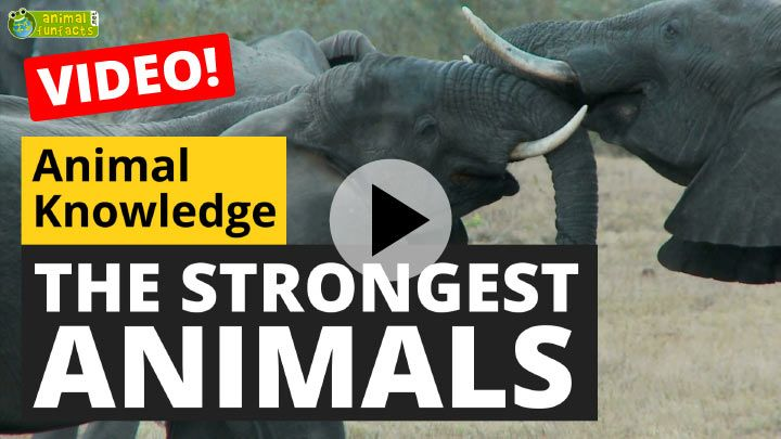 Video: The Strongest Animals in the World